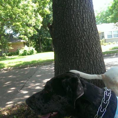 East Dallas dog walkers